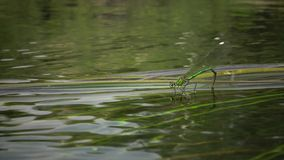 Dragonfly lays eggs on aquatic plants in the Southern bug river. Ukraine stock video footage