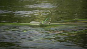Dragonfly lays eggs on aquatic plants in the Southern Bug River. Ukraine stock footage