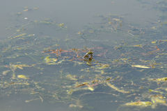 Dragonfly lays eggs Royalty Free Stock Photo