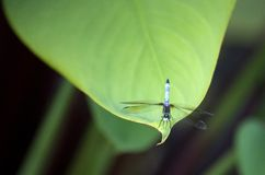 Dragonfly on leaf. Dragonfly resting on tip of a leaf Stock Image