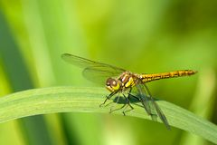 Dragonfly on the leaf Stock Photos