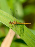 Dragonfly on the leaf Royalty Free Stock Photos