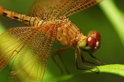 Dragonfly on a leaf Stock Photos