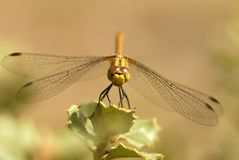 Dragonfly on leaf Stock Photography