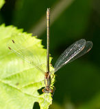Dragonfly on a leaf Royalty Free Stock Photo