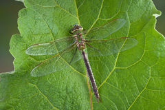 Dragonfly on leaf Stock Image