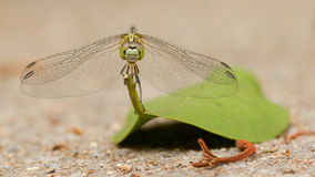 Dragonfly on a leaf Stock Photography