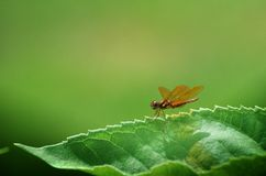 Dragonfly on a leaf. Eastern Amberwing dragonfly(Perithemis Tenera)  perched on the edge of a leaf Stock Photo