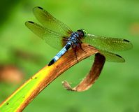 Dragonfly on leaf. Overhead macro view of dragonfly on curled leaf with green background Stock Photo