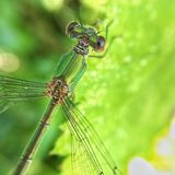 Dragonfly. On leaf Royalty Free Stock Photo