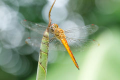 Dragonfly on leaf Royalty Free Stock Images