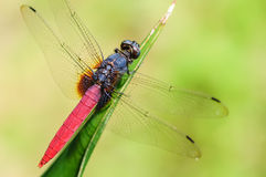 A dragonfly on the leaf. Stock Photo