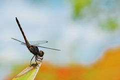 Dragonfly on leaf Stock Images