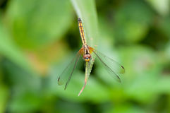 Dragonfly on a leaf. In garden Stock Images