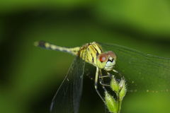 Dragonfly On A Leaf. Dragonfly on a green leaf with soft focused, natural green background Stock Images