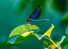Dragonfly on a leaf royalty free stock photography