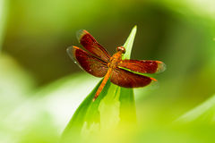 Dragonfly on leaf, macro insect life in the tropical rain forest Stock Image
