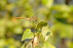 Dragonfly on a leaf Stock Photos