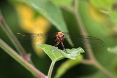 Dragonfly on leaf Royalty Free Stock Photos