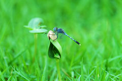 Dragonfly on the leaf Stock Photography
