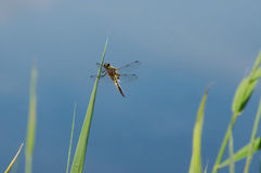 A dragonfly on a leaf of reed Stock Image
