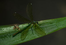 Dragonfly on the leaf Stock Image