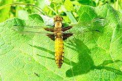 Dragonfly on leaf Stock Photos