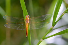 Dragonfly on leaves. Stock Images