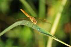dragonfly liść Zdjęcie Stock