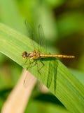 dragonfly liść Zdjęcia Royalty Free