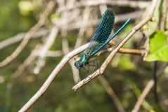 Dragonfly Libellula fotografia royalty free