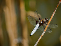Dragonfly Libellula Depressa. Dragonfly blue Libellula Depressa with blue tail and beautiful spread wings, resting on small branch Stock Photography