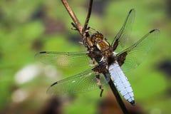 Dragonfly(Libellula depressa) Royalty Free Stock Image