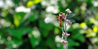 Dragonfly - Libellula depressa Stock Photography