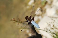Dragonfly Libellula depressa Royalty Free Stock Photo