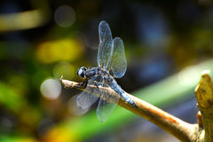 Dragonfly (Libellula depressa) close-up sitting on a branch Royalty Free Stock Photos