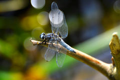 Dragonfly (Libellula depressa) close-up sitting on a branch Stock Image