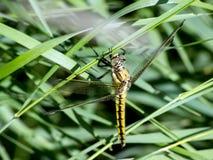 Dragonfly Libellula depressa Stock Image
