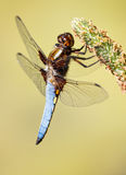 Dragonfly - Libellula depressa Stock Photo