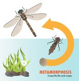 Dragonfly life cycle metamorphosis Stock Photos