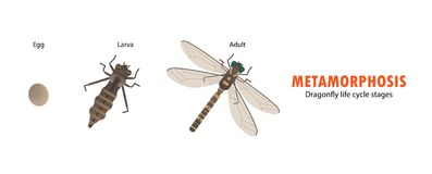 Dragonfly life cycle metamorphosis Royalty Free Stock Image