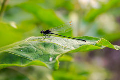 The Dragonfly. Royalty Free Stock Photos