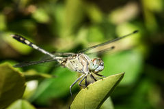 The dragonfly Royalty Free Stock Photo
