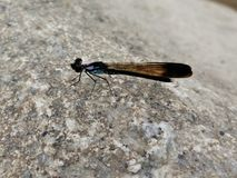 Dragonfly. Little dragonfly on rock Royalty Free Stock Photo