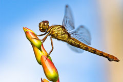 Dragonfly live. A dragonfly takes a moment to rest on top of a flower Stock Photo