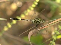 Dragonfly. Location: Gurun Kedah Malaysia stock photography