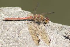 A dragonfly on Southampton Common royalty free stock photos