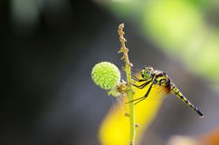 Dragonfly on the longan shoot Royalty Free Stock Image