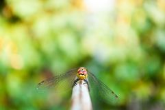 Dragonfly looking into camera with green background Royalty Free Stock Images