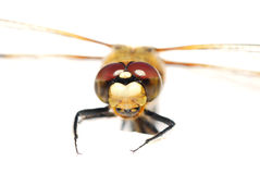Dragonfly looks at the camera Stock Photography